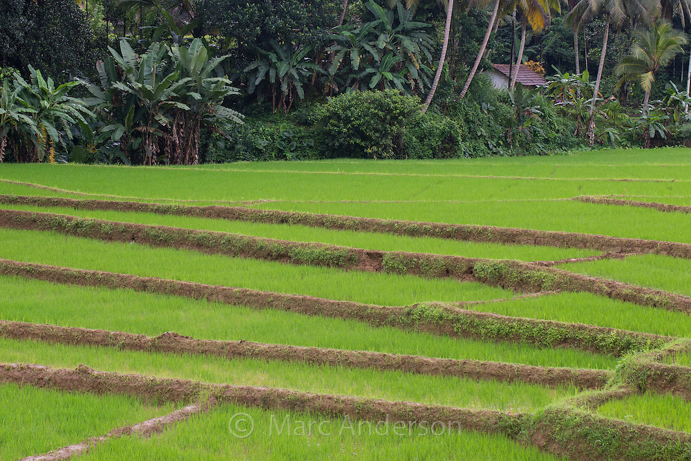 Rice Paddies in Sri Lanka