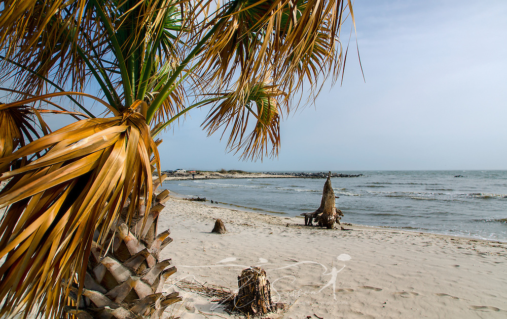 A palm tree blows in the wind on Dauphin Island, Alabama. (Photo by Carmen K. Sisson/Cloudybright)