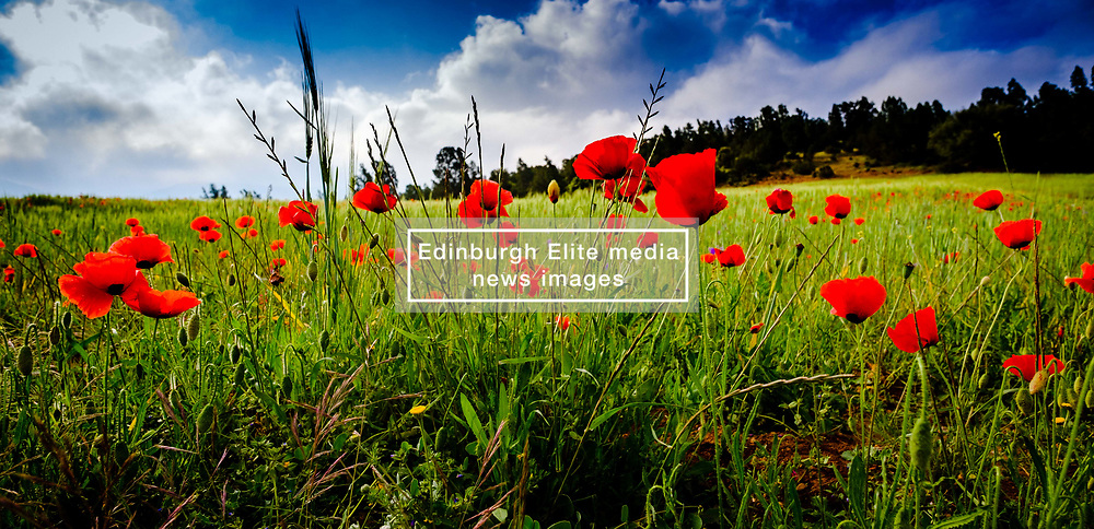 Wild poppies growing by the roadside, foothills of the Atlas Mounrains, Morocco, North Africa<br /> <br /> (c) Andrew Wilson | Edinburgh Elite media