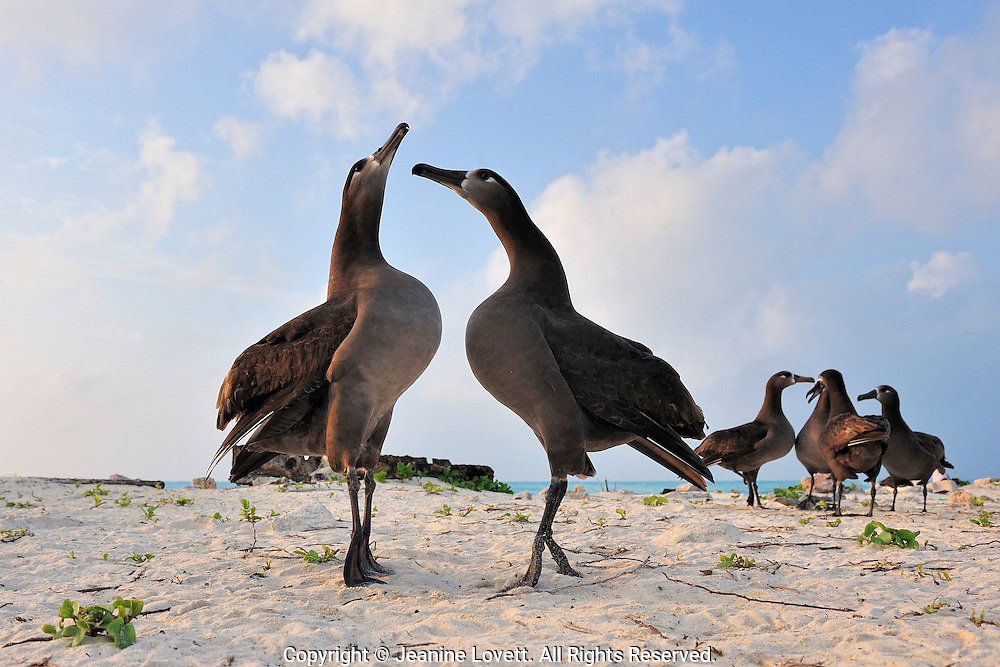 black-footed  albatross standing on their tippy toes (webbed feet) with chests lifted in a courtship bonding dance. Group of four in the back ground looking for a mate.