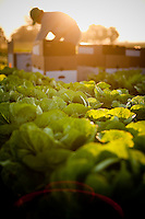 A farm field of organic lettuce growing in Oregon. A Latino farm worker at sunrise.