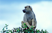 Yellow Baboon sitting in tree, Papio cyanocephalus, Kenya, Africa