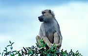 Yellow Baboon sitting in tree, Papio cyanocephalus, Kenya, Africa