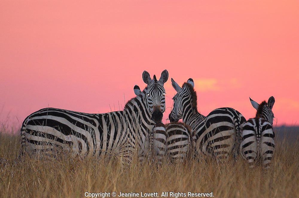 Zebras just after sunset with a ruby red sky. They stand so close together they are touching.