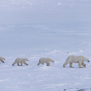 Polar bear mother and cubs wandering, waiting for Hudson Bay to freeze. Cape Churchill, Canada