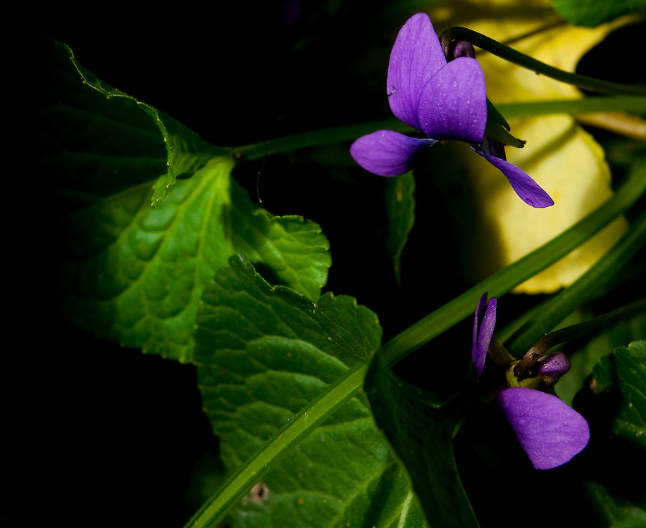 Itabirito_MG, Brasil...Producao de flores comestiveis para serem comercializadas. Na foto a flor Viola (Viola odorata)...The edible flowers, this flowers are seller. In this photo the flower Viola (Viola odorata)...Foto: LEO DRUMOND / NITRO