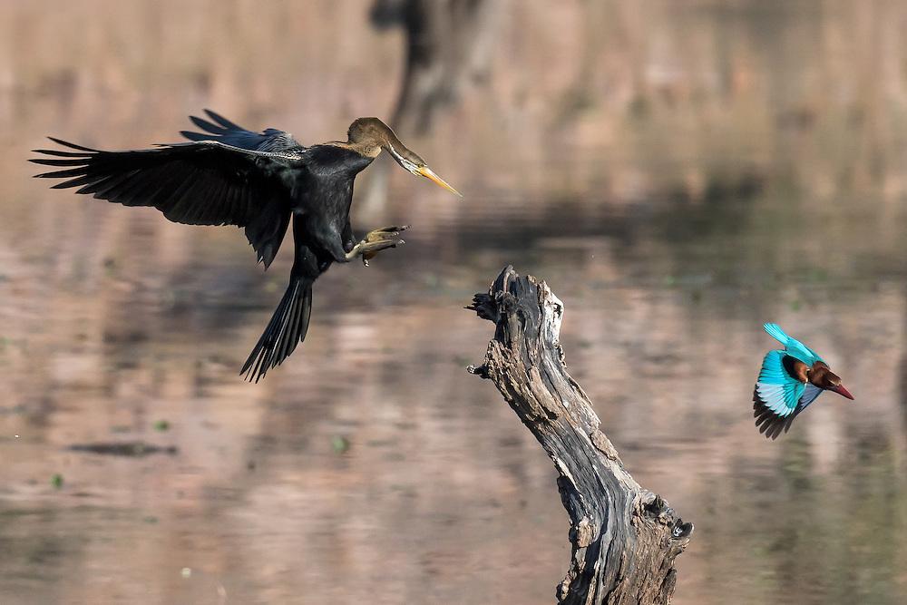 Anhinga im Anflug, Ranthambore Nationalpark, Rajastan, Indien