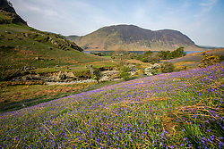 © Licensed to London News Pictures. 24/04/2019. Rannerdale UK. The Rannerdale Bluebells have burst into life weeks early near Crummock water in the Rannerdale valley. The native Bluebells, a remnant of ancient woodland is under threat claims the National Trust. In the last four years the National Trust and their tenant farmer estimate that nearly 25% of the bluebells has been lost through trampling by visitors who don't stick to the footpaths. If a bluebell's leaves are crushed they die back, as the leaves cannot photosynthesise to feed the plant. It can take the bluebell years to recover. Photo credit: Andrew McCaren/LNP