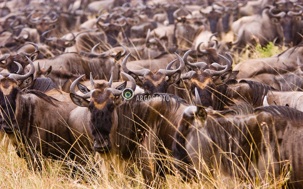 Herd of wildebeest at Masai Mara (also spelled Maasai Mara), a large park reserve in south-western Kenya. The wildebeest, also called the gnu, is an antelope of the genus Connochaetes. / Migracao de Gnus e Zebras  na Reserva Nacional Masai Mara, o mais famoso parque nacional do Quenia,  situado no enorme Vale do Rift.