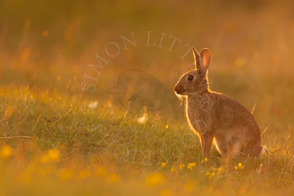 European Rabbit (Oryctolagus cuniculus) adult alert in field margin, Norfolk, Uk.