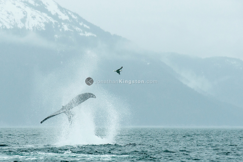Humpback whale (Megaptera novaeangliae) tail slapping in Alaska.