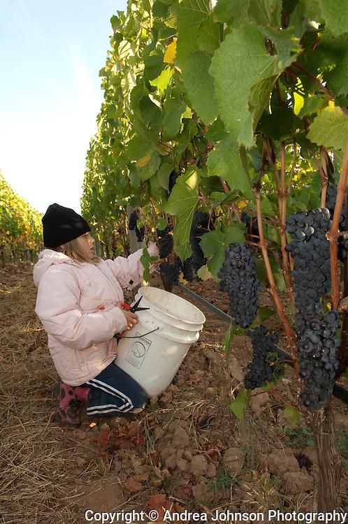 Mia deLancellotti harvesting pinot noir in Mia's block at deLancellotti Family Vineyards, Yamhill-Carlton AVA, Willamette Valley, Oregon
