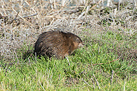 "Native to North America, muskrats are semi-aquatic rodents named for their musky smell and rat-like appearance. They are found in most of Canada and the United States, as well as some parts of Northern Mexico where they inhabit extremely variable habitats and altitudes. Muskrats are always associated with wetlands, whether that is a lake, swamp, pond, river, etc. Although the common name contains the word ""rat"", it is taxonomically just a very large, semi-aquatic vole, and not related to any rat species. This one was found munching on vegetation at the edge of Tule Lake in Northern California, near the Oregon border."