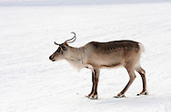 Reindeer on ski piste near Rudi Hütte. Dolomiti di Sesto (Sexten Dolomites), Südtirol (South Tyrol), Italy (February 2016) © Rudolf Abraham