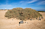 Sand dune vegetation landscape, Caleta de Famara, Lanzarote, Canary islands, Spain