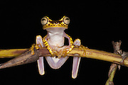 Imbabura Treefrog (Hypsiboas picturatus) CAPTIVE<br /> Choc&oacute; Region of NW ECUADOR. South America
