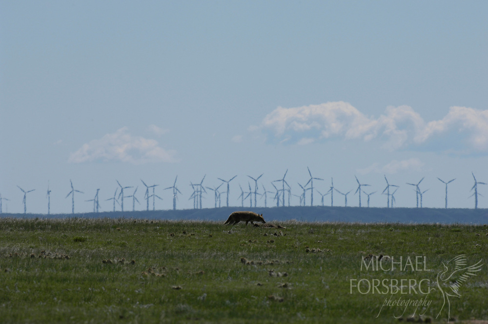 High Plains, shortgrass prairie region - Front Range, CO..A coyote moves across a prairie dog town with large windfarm in the distance...Spring Meadow and Soapstone Ranches (part of Mountains to Plains initiative and open space plan (proper title?) - owned by city of Ft. Collins (recently purchased)..