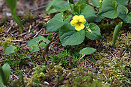 A Stream Violet (Viola gabella) flower growing in the forest moss in Golden Ears Park. The Stream Violet (also called the Yellow Wood Violet or Pioneer Violet) tends to grow along streams or in moist woodlands.  These were growing along the trail near Gold Creek in Maple Ridge, British Columbia, Canada.