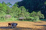 Oxen on a farm in the San Carlos area, Pinar de Rio, Cuba.
