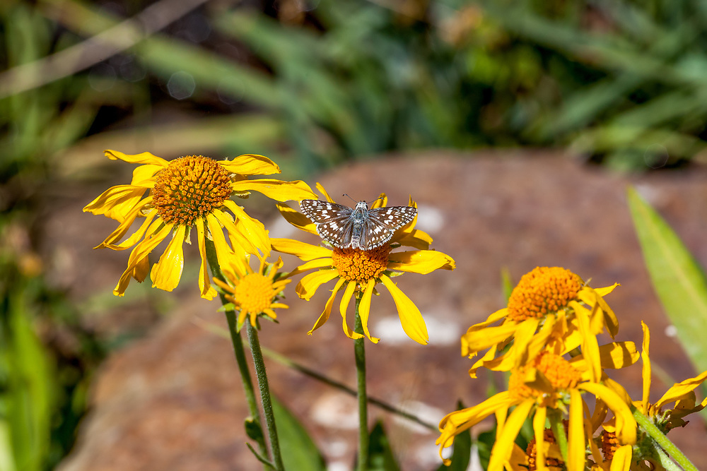 Pyrgus communis (Common Checkered Skipper) at Poison Meadow, Tulare Co, CA, USA, on Owl's claws 19-Jul-12