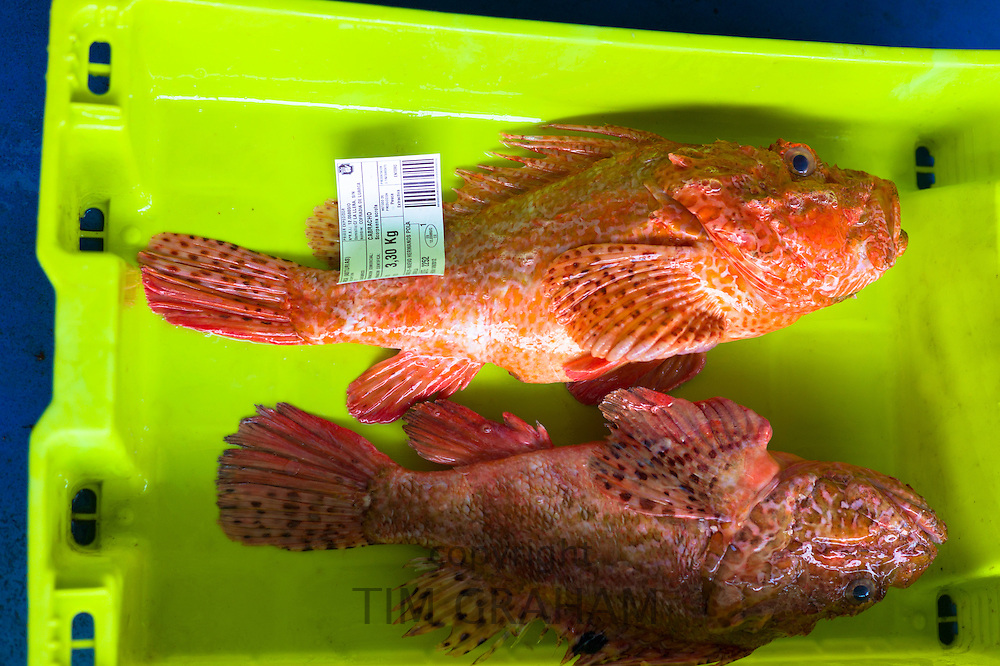 Cabracho Red Scorpion fish at Confradia de Pescadores de Luarca, Confederation of Luarca Fishermen, at Puerto Luarca in Asturias, Spain