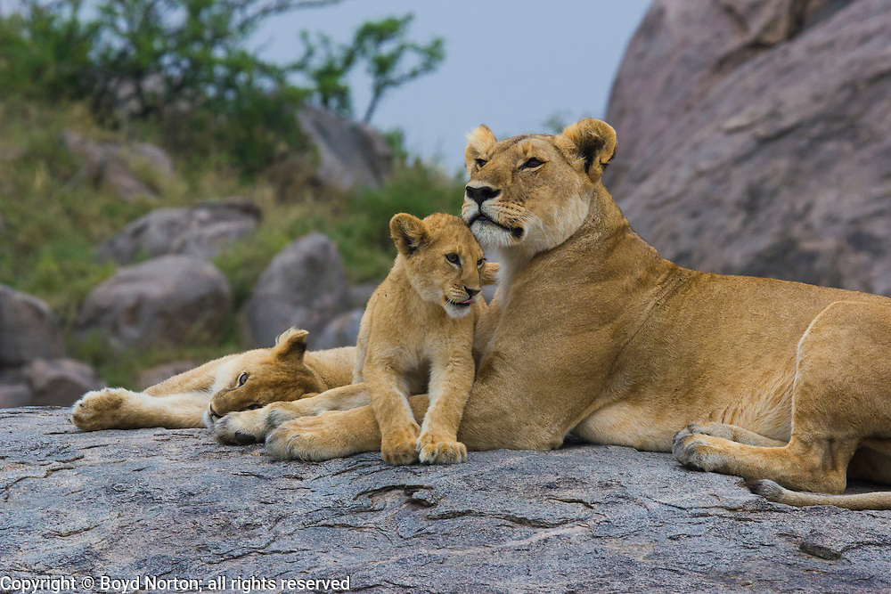 Lioness and cubs on a kopje (rock outcroping), Serengeti National Park, Tanzania; head rubbing.