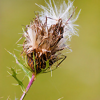 Thistle plant in autumn