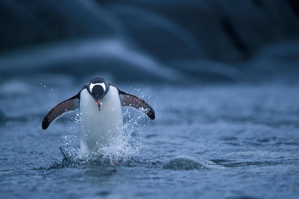 Antarctica, Wiencke Island, Gentoo Penguin (Pygoscelis papua) hops through shallow water along shoreline at Port Lockroy