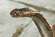closeup of king cobra, rishikesh, india