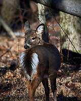 Deer at the Sourland Mountain Preserve. Winter Nature in New Jersey. Image taken with a Nikon D3x camera and 80-400 mm VR lens.