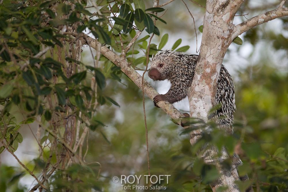 Brazilian Porcupine (Coendou prehensilis) in a tree, Pantanal, Brazil