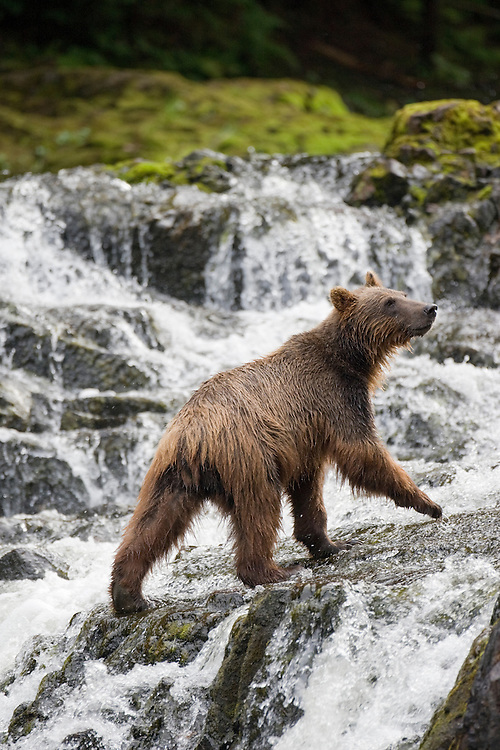 USA, Alaska, Brown (Grizzly) Bear (Ursus arctos) climbing over rocks of waterfall along Pavlof Harbor