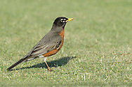 American Robin - Turdus migratorius - Adult male