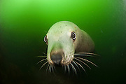 A young male Steller Sea Lion, Eumetopias jubatus, swims in the murky waters north of Vancouver Island, British Columbia, Canada.