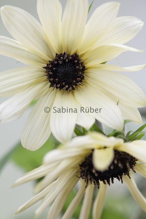 Helianthus annuus 'Italian White' - sunflower