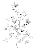 X-ray image of a 'Jackmanii' clematis stalk (Clematis 'Jackmanii', black on white) by Jim Wehtje, specialist in x-ray art and design images.