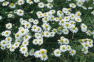 STINKING CHAMOMILE Anthemis cotula (Asteraceae) Height to 50cm. Similar to Scented Mayweed but hairless and unpleasantly scented. Grows in disturbed ground. FLOWERS are borne in solitary heads, 20-35mm across, with yellow disc florets and white ray florets (Jul-Sep). Scales present between disc florets. FRUITS are achenes. LEAVES are feathery and much-divided. STATUS-Common only in S.