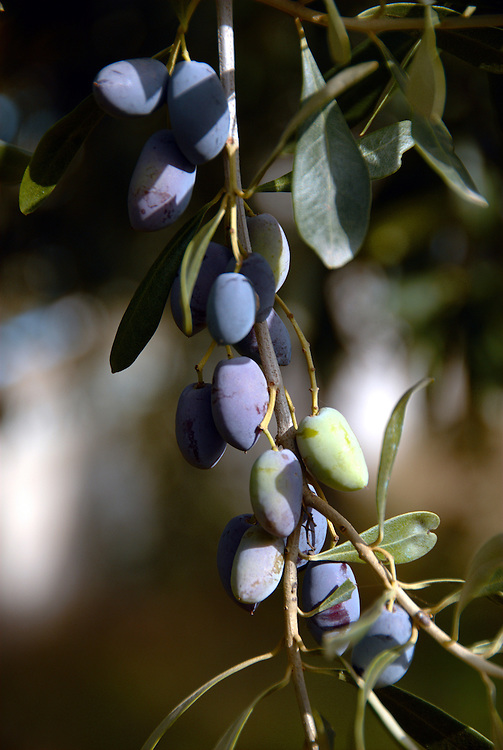 The fruits of an olive tree near Agiokampos town, Larissa Prefecture, Thessaly region, central Greece.