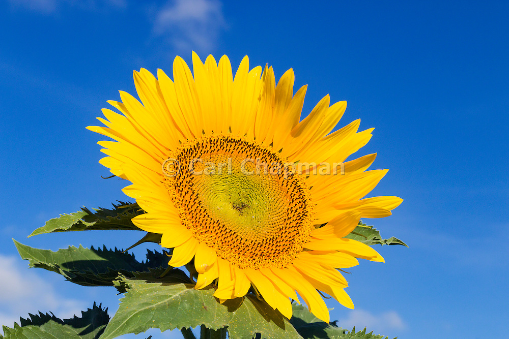 Flowering sunflower in morning sun near Ryeford, Queensland, Australia