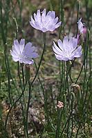 Skeleton Plant (Lygodesmia texana), Mason County, Texas