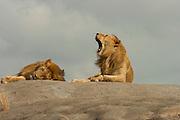 Male lions resting on  kopje (rock outcrop