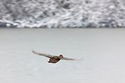 A female mallard duck (Anas platyrhynchos) flies over the frozen Scriber Lake, located in Lynnwood, Washington.