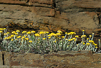 Helichrysum stoechas, Southwest Alentejo and Vicentine Coast Natural Park, Portugal
