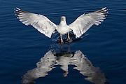 Seagull takeoff | Måke som letter fra sjøen.
