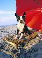 Boston Terrier under an umbrella at the beach<br />