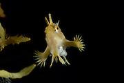 Sargassum Fish (Histrio histrio) swimming in the Sargasso Weed or Broad-toothed Gulfweed (Sargassum fluitans) Sargassum Community. Sargasso Sea, Bermuda