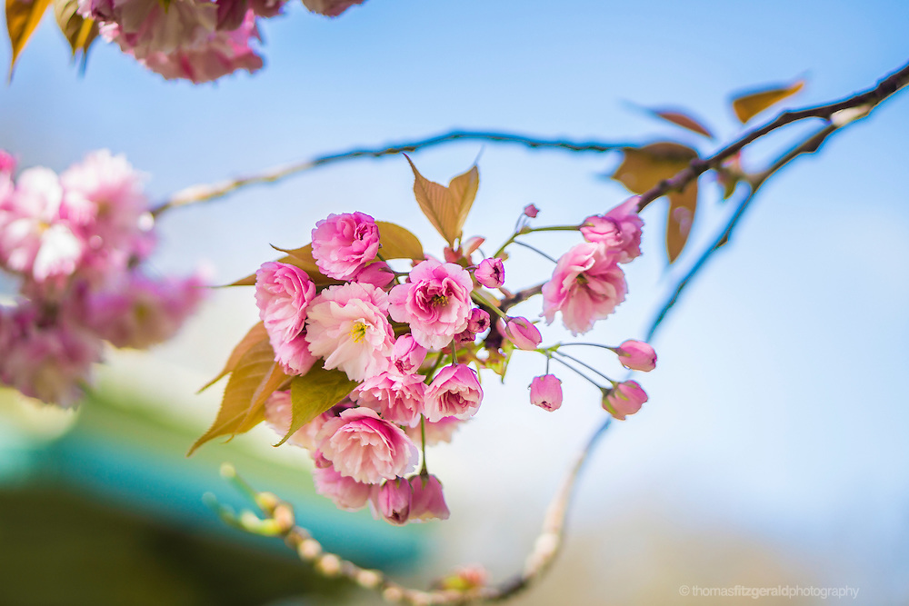 Dublin, Ireland, 2014: A colsuep of Cherry Blossom flowers on a branch with the blue sky behind.
