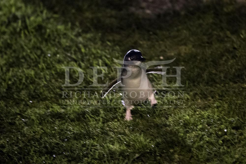 Little Blue Penguins returns to its nest at dusk in Oamaru, New Zealand.<br /> 11 October 2016<br /> Photograph Richard Robinson &copy; 2016