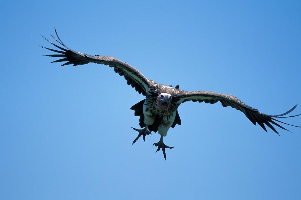 Africa, Kenya, Masai Mara Game Reserve, Lappet-faced Vulture (Aegypius tracheliotus) flies toward cheetah kill