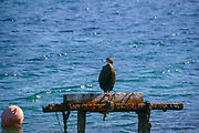 European shag or common shag (Phalacrocorax aristotelis) is a species of cormorant. It breeds around the rocky coasts of western and southern Europe, southwest Asia and north Africa, mainly wintering in its breeding range except for the northernmost birds. Photographed in Thasos, Greece, in October